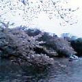 桜満開 人もいっぱい